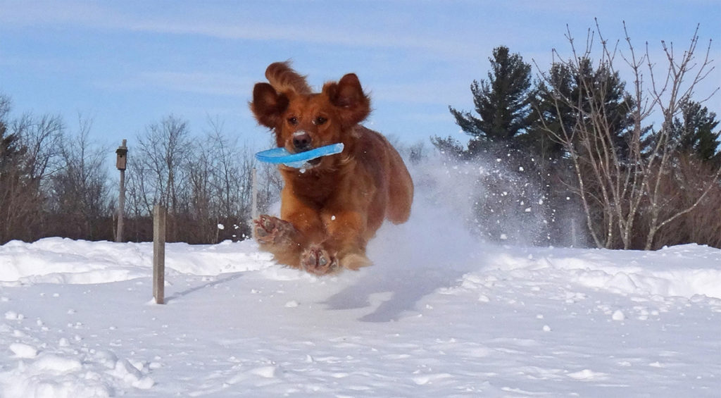 Dog running through snow with a Frisbee in it's mouth.