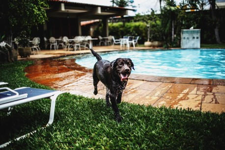 Labrador running out of a pool