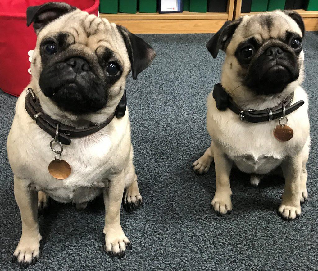 Two pugs Dalton and Hudson