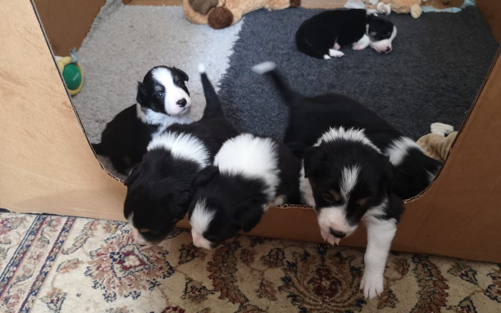 huddle of puppies trying to climb out of a cardboard box